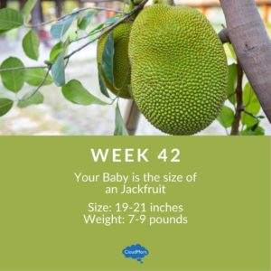 42 weeks of pregnancy baby size comparison with fruit - jackfruit